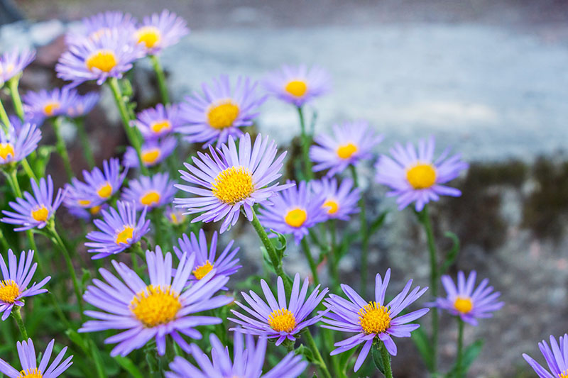 A close up of delicate daisy-like blooms in light purple, with yellow centers, of the perennial aster, pictured growing in the garden, and fading to soft focus in the background.