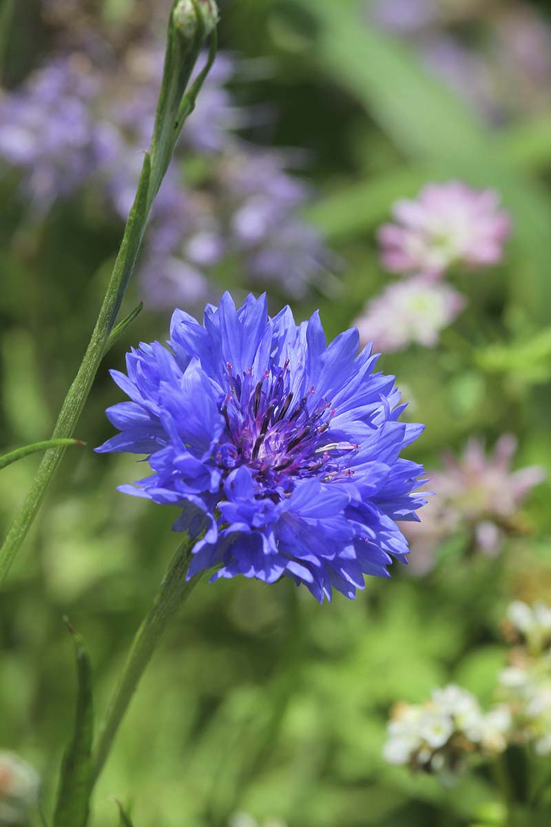 A vertical close up picture of a blue cornflower growing in the garden pictured on a soft focus background.