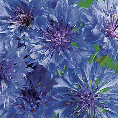 A close up of the flowers of 'Blue Boy,' a variety of cornflower, on a soft focus background.