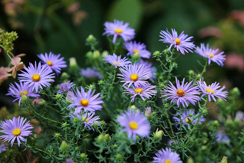 A close up of Symphyotrichum laevis 'Bluebird' growing in the garden with delicate purple blooms and contrasting yellow centers, pictured on a soft focus background.