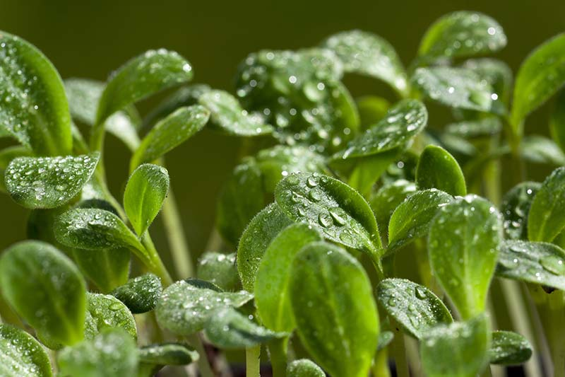 A close up of the leaves of Borago officinalis seedlings with a light misting of water droplets on the leaves.