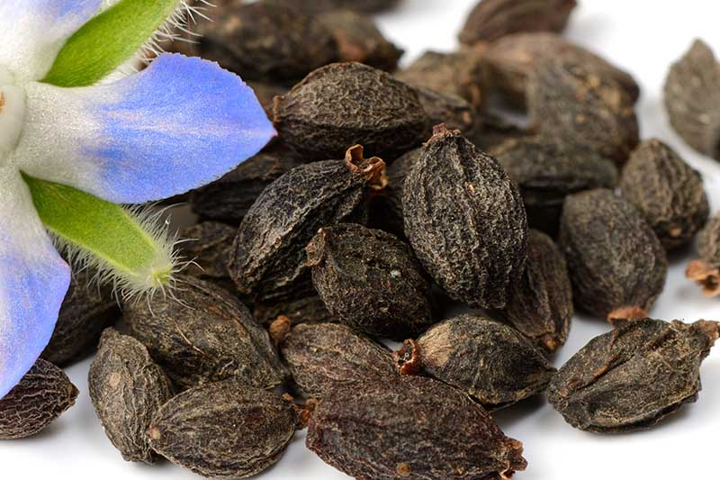 A close up of Borago officinalis seeds and a blue flower to the left of the frame, on a white background.