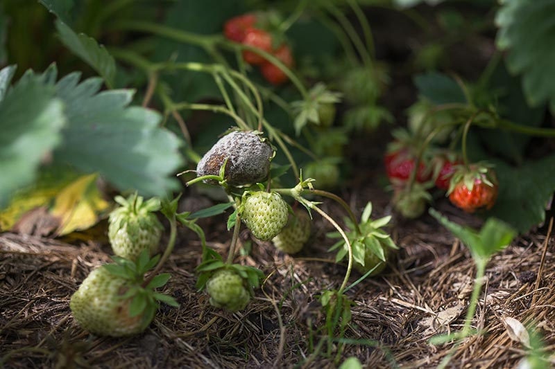 A close up of strawberries growing in the garden, with one or more fruits suffering from a fungal infection caused by Botrytis cinerea.