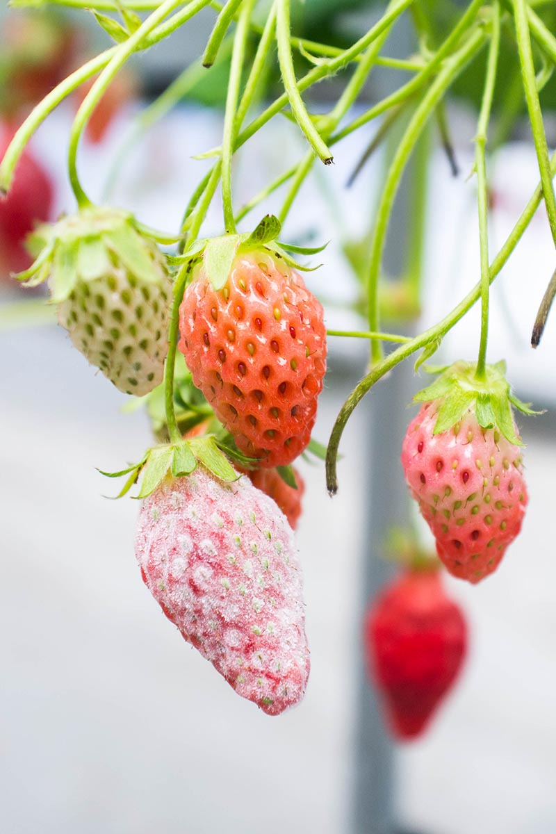 A vertical picture of strawberries hanging from the plant, one of them infected with a fungal disease called Botrytis, pictured on a soft focus background.