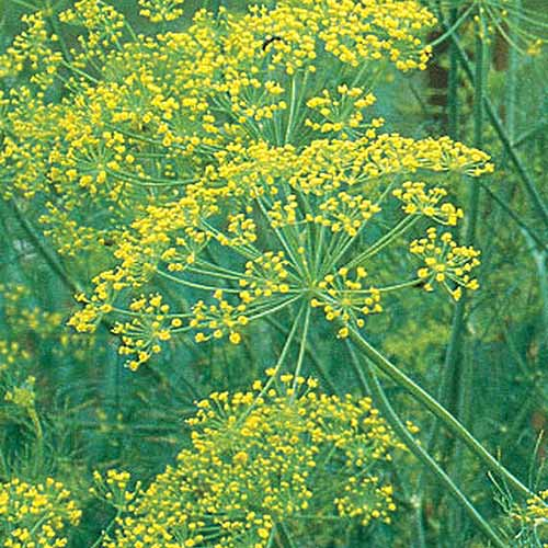 A close up of the bright yellow delicate flower of 'Bouquet' dill, growing in the garden.
