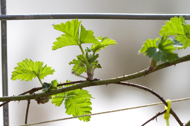 A close up of a thorny branch of a boysenberry bush trained on a metal fence, pictured on a soft focus background.