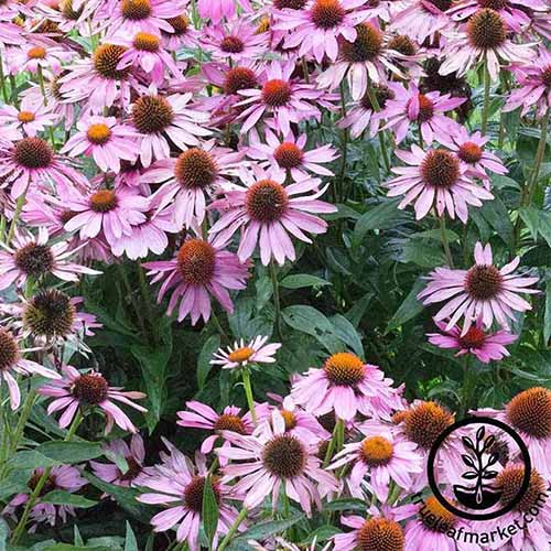A close up of a swath of 'Bravado' coneflowers growing in the garden. To the bottom right of the frame is a black circular logo and text.