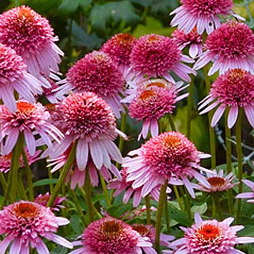 A close up of 'Butterfly Kisses' coneflowers growing in the summer garden.