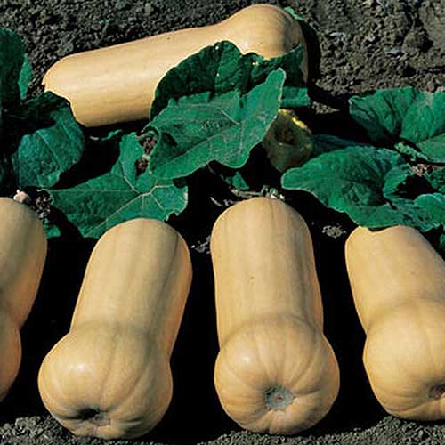 A close up of butternut squash growing on the vine with soil in the background in light sunshine.