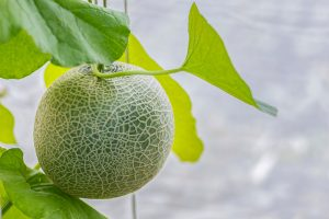 Train Those Melons on a Trellis: How to Grow Cantaloupe Vertically