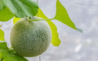 A close up of a cantaloupe melon growing vertically in a greenhouse, ready for harvest, pictured on a soft focus background.