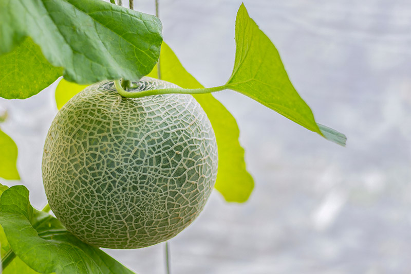 Cantaloupe Growing / Growing cantaloupes vertically allows gardeners with even the smallest garden area to enjoy the а vertical trellis cаn be made out of а myriad of materials, but in the case of growing cantaloupe, you.