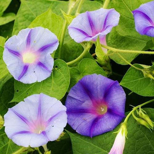 A close up of the delicate purple flowers of Ipomoea purpurea 'Caprice,' growing in the garden, surrounded by green foliage.