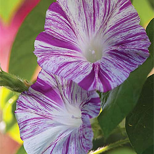 A close up of delicate bicolored purple and white flowers of Ipomoea purpurea 'Carnivale di Venezia,' pictured on a green soft focus background.