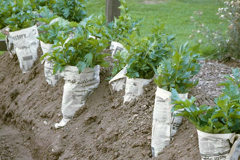 A close up of a row of celery growing in the garden with newspaper wrapped around the stems for blanching purposes, to make the stalks white and tender.