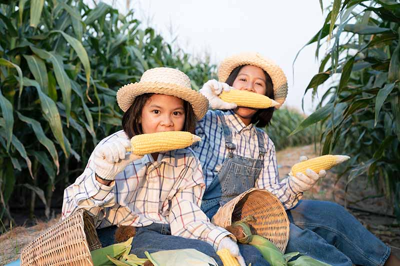 Two children sitting in a maize field holding freshly harvested ears that they are eating raw.
