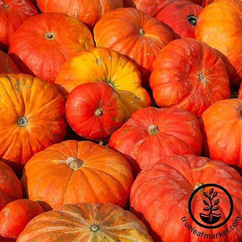 A close up of a pile of 'Cinderella' pumpkins with bright reddish orange skin, pictured in bright sunshine. To the bottom right of the frame is a black circular logo with text.