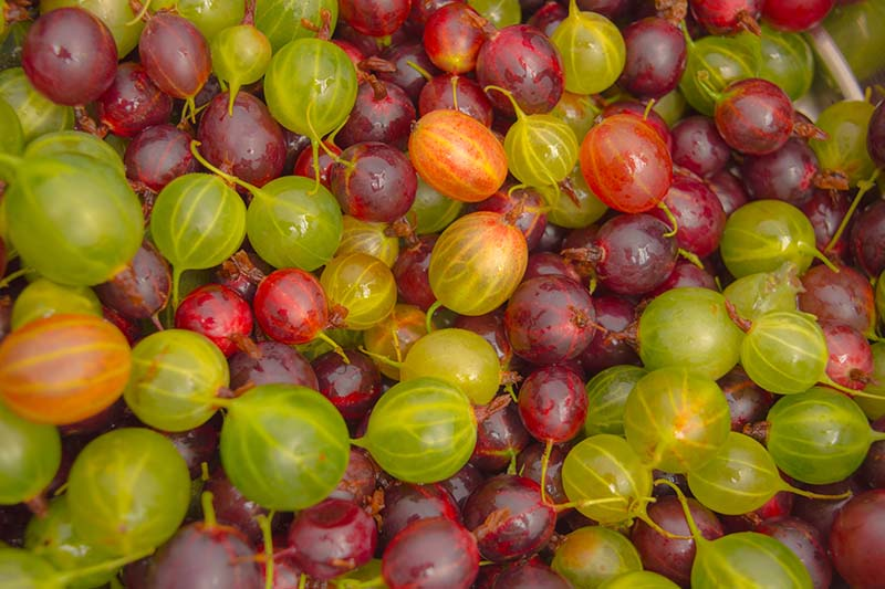 A close up of freshly harvested gooseberries in a variety of colors, including red, green, pink, and yellow.