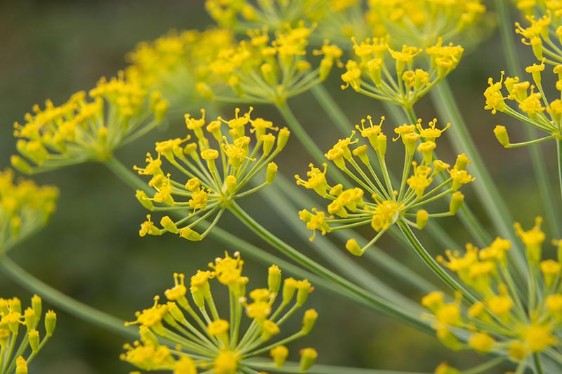 A close up of the delicate yellow flowers of Anethum graveolens growing in the garden on a soft focus background.