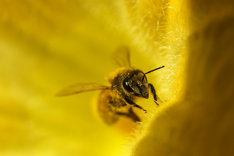 A close up of a bee inside a bright yellow flower.