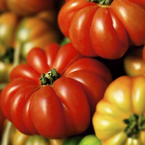 A close up of the deeply ribbed, red and yellow 'Constoluto Genovese' tomatoes pictured in bright light.