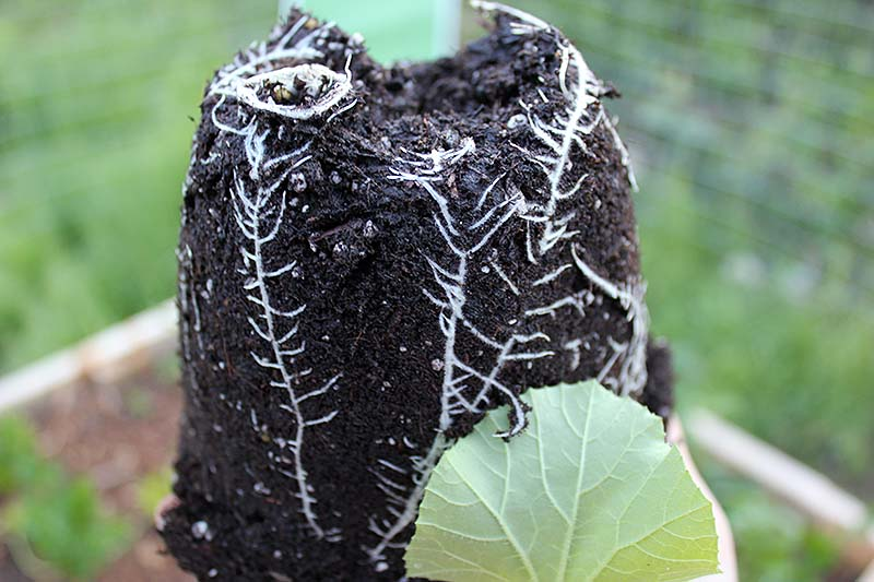 A close up of a root ball of a small transplant with soil surrounding the tiny roots.