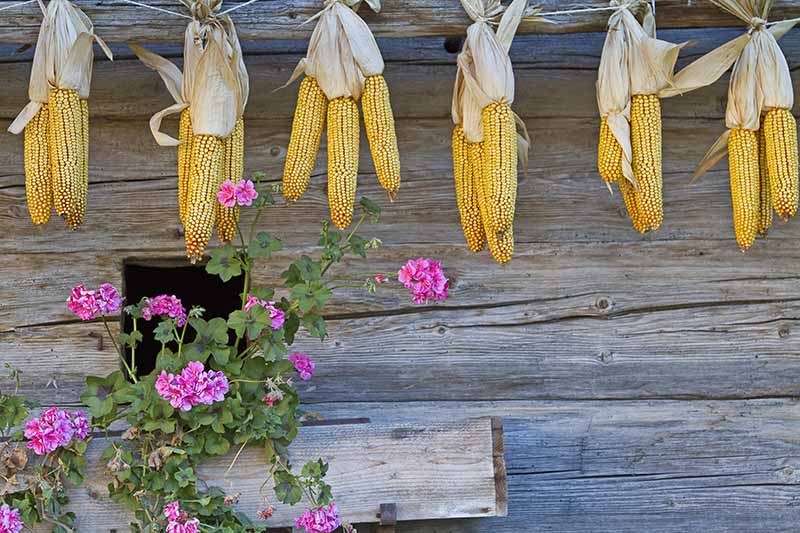 A rustic wooden wall with corn ears hanging from string to dry out, with pink flowers in the foreground.