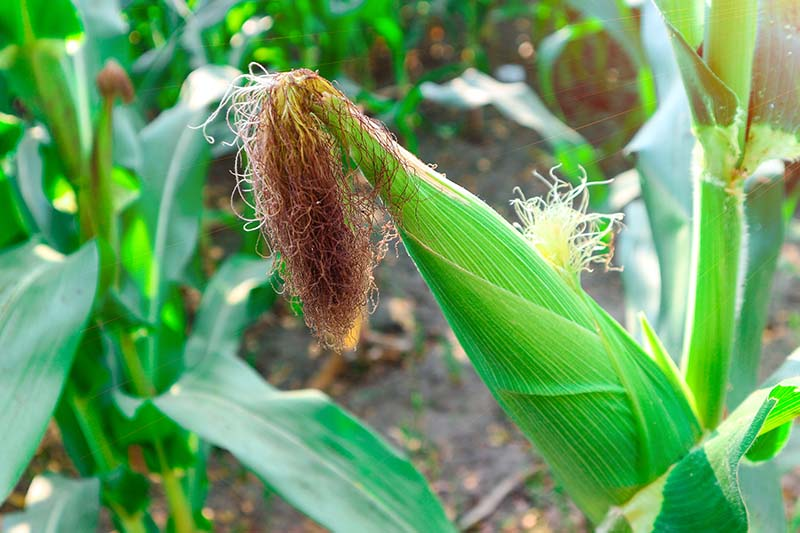 A close up of an ear of corn that's ready to harvest, showing dried, brown silks. Pictured in bright sunshine with foliage in soft focus in the background.