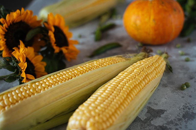 A close up of two corn cobs, sunflowers, and a pumpkin in the background set on a concrete surface.