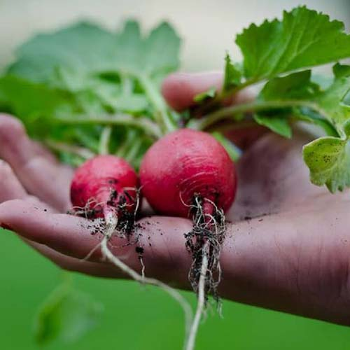 A close up of a hand from the right of the frame holding two freshly harvested 'Crimson Giant' radishes, with roots and foliage still attached, on a soft focus background.