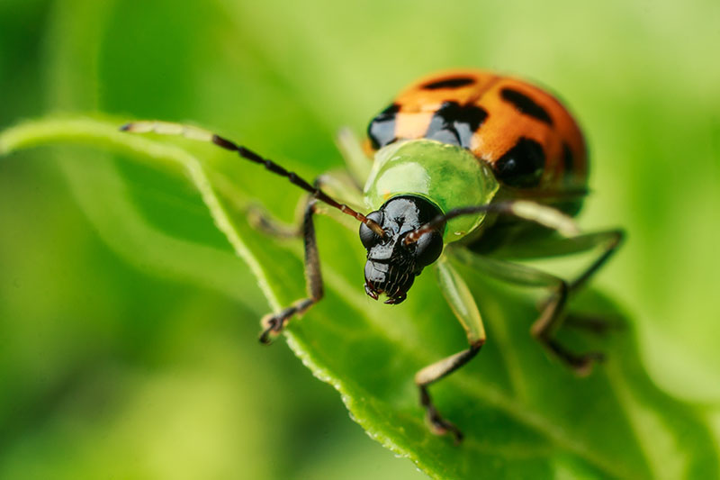 A close up of a spotted cucumber beetle on a green leaf, on a soft focus background.