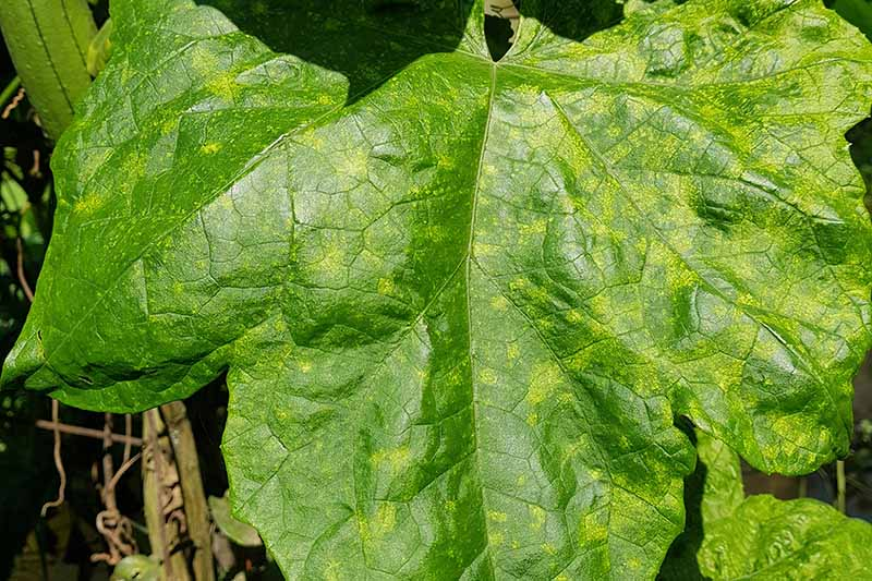 A close up of a leaf suffering from cucumber mosaic virus, an incurable condition that can kill the plant.