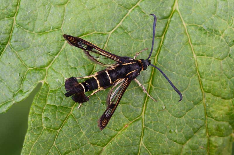 Top down view of a currant clearwing moth on a leaf.