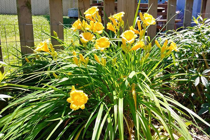 A close up of a 'Stella d'Oro' daylily growing in the garden with bright yellow flowers and a wooden fence in soft focus in the background.