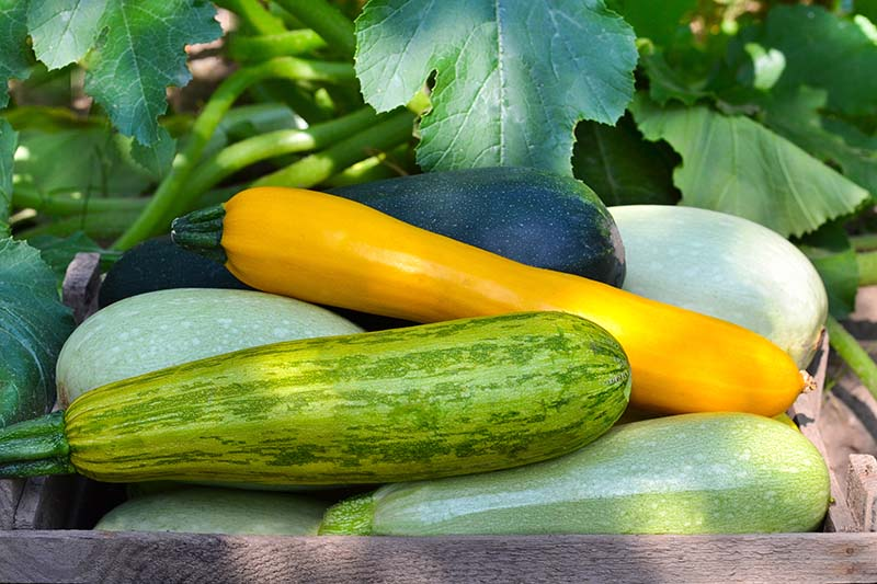 A close up of a box set amongst foliage with a selection of different summer squash fresh from the garden, pictured in light filtered sunshine.