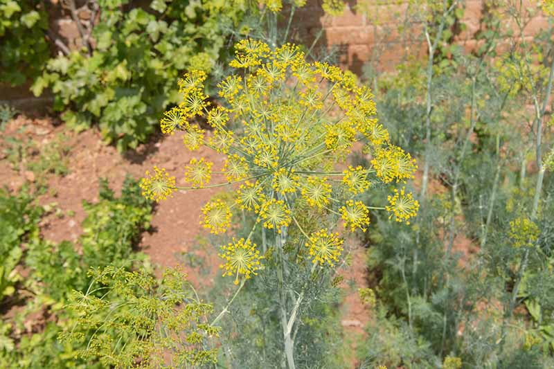 A close up of the large yellow umbel of a dill plant growing in the garden in bright sunshine with a brick wall in the background.