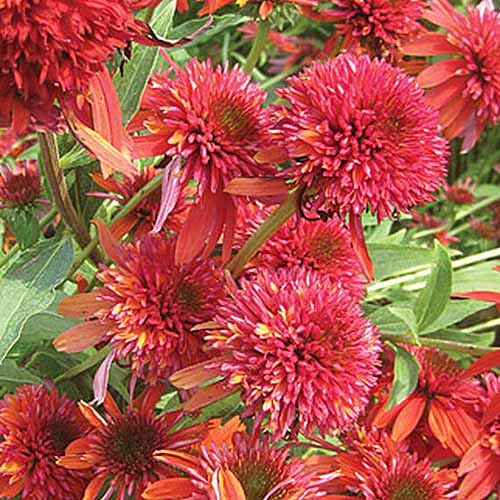 A close up of the bright reddish orange flowers of Echinacea purpurea 'Double Scoop Orangeberry' growing in the garden, pictured in bright sunshine.