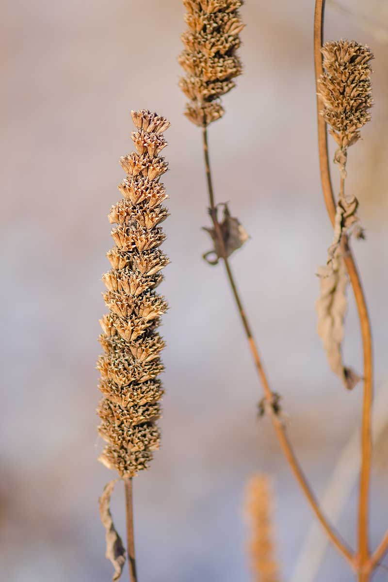A vertical close up of the dried seed heads of Agastache foeniculum on a soft focus background.