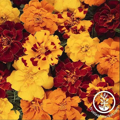 A close up of 'Durango' marigolds with red, orange, yellow, and bicolored petals. To the bottom right of the frame is a white circular logo with text.