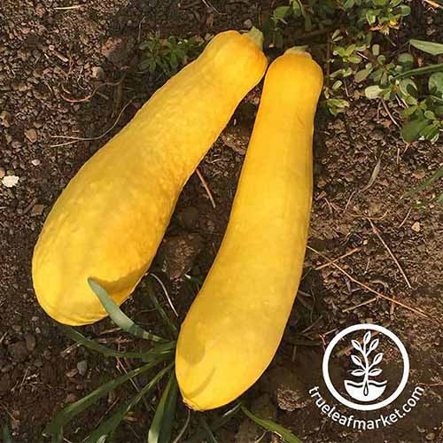 A close up of two yellow fruits of 'Early Prolific Straightneck' squash set on the ground. To the bottom right of the frame is a white circular logo with text.