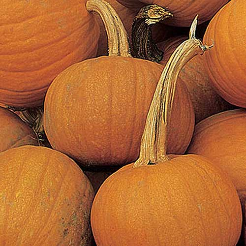 A close up of a pile of freshly harvested 'Early Sweet Sugar Pie' squash.