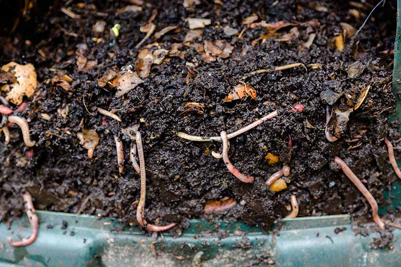 A close up of rich, earthy compost containing a large number of worms.