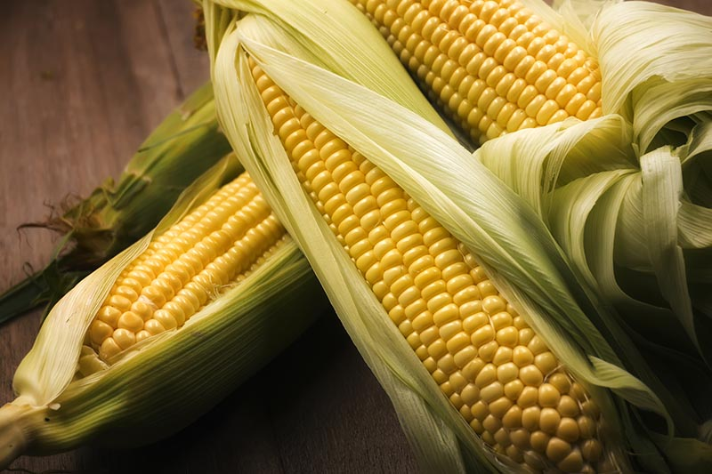 A close up of the ears of freshly harvested sweet corn, set on a wooden surface, with the leaves pulled back to reveal the yellow kernels underneath.