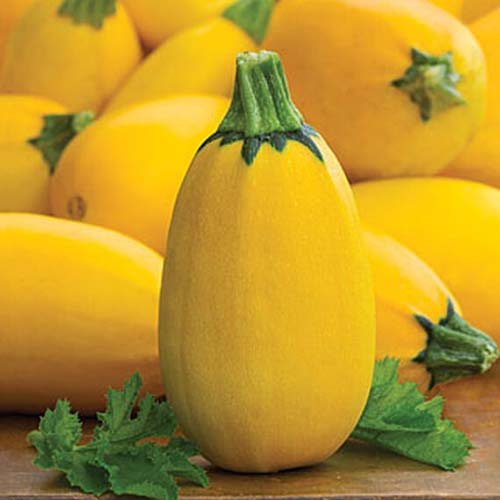 A close up of a small yellow zucchini 'Golden Egg,' with yellow flesh and an oval shape.