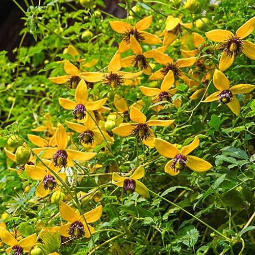 A close up of the delicate star-shaped flowers of clematis 'Golden Tiara.' Yellow petals contrast with dark centers, on a background of foliage, pictured in bright sunshine.