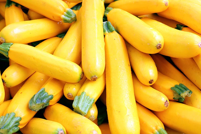 A close up of freshly harvested yellow summer squash, pictured in bright sunshine.