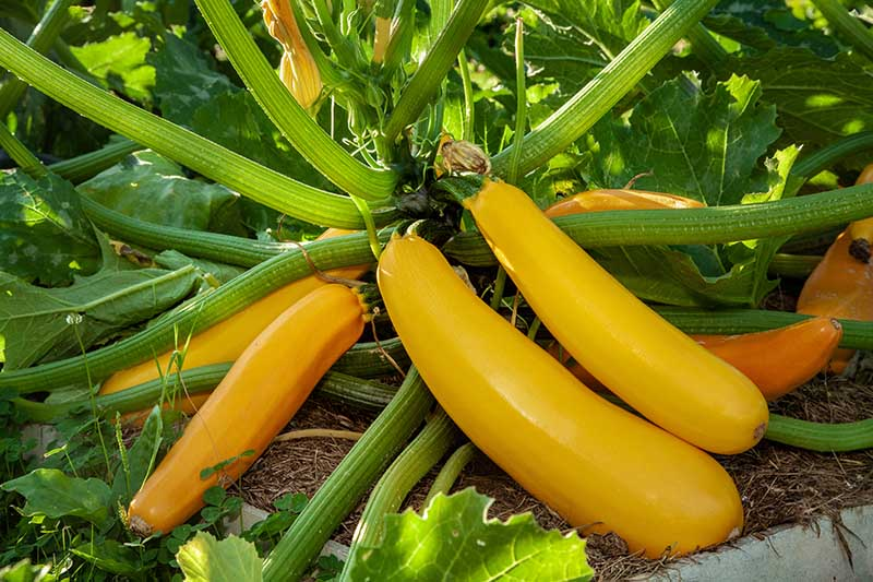 A close up of a golden zucchini growing in the garden, with bright yellow fruits in various stages of maturity, pictured in light sunshine.