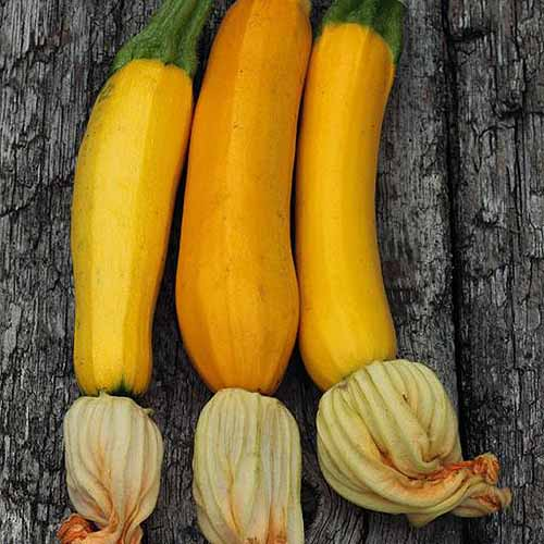 A close up of three yellow zucchini, freshly picked from the plant, set on a wooden surface.