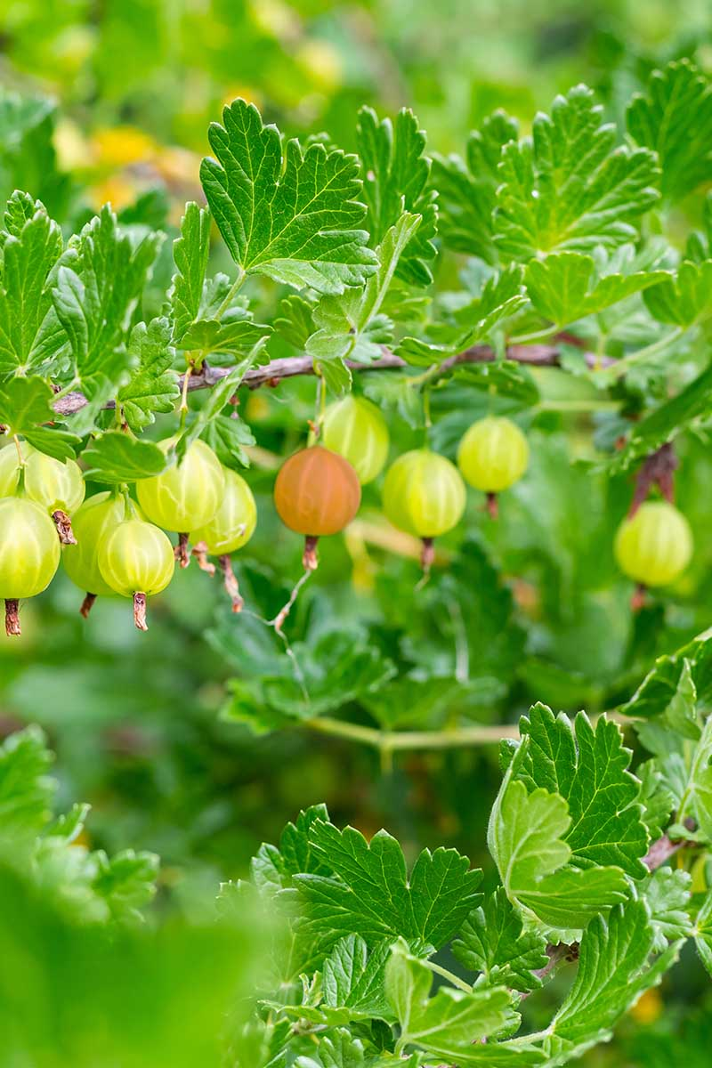 A vertical close up picture of Ribes uva-crispa growing in the garden with fruit ripening on the branches, pictured on a soft focus background.