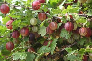 How to Grow Gooseberries